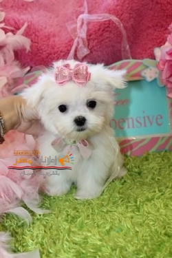 Beautiful Teacup Maltese Puppies Available